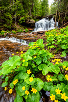 """Marsh Marigolds at Wagner Falls, Munising"""