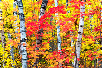 """White Birch Forest"""